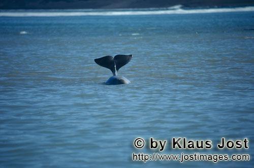 Beluga/Beluga whale/Delphinapterus leucas        Beluga Schwanzflosse        Am Cunnigham Inlet auf