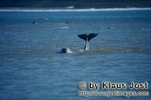 Beluga/Beluga whale/Delphinapterus leucas        Schwanzflosse eines jungen Belugas ragt aus dem Was