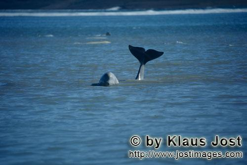Beluga/Beluga whale/Delphinapterus leucas        Eindrucksvolle Beluga Schwanzflosse        Am Cunni