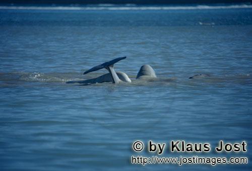 Beluga/Beluga whale/Delphinapterus leucas        Belugas an der Wasseroberfläche        Am Cunnigha
