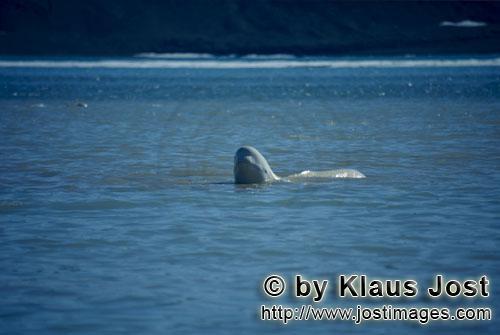 Beluga/Beluga whale/Delphinapterus leucas        Der Beluga hebt seinen Kopf aus dem Wasser        A