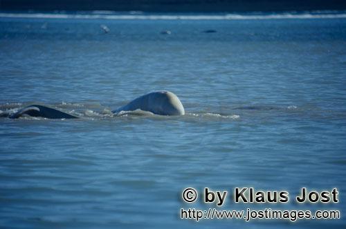 Beluga/Beluga whale/Delphinapterus leucas        Beluga in der Arktis        Am Cunnigham Inlet auf
