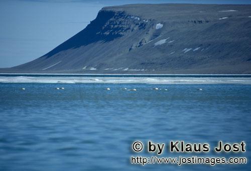 Beluga/Beluga whale/Delphinapterus leucas        Belugas im Schmelzwasser am Cunningham Inlet