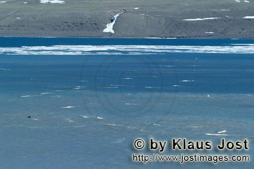 Beluga/Beluga whale/Delphinapterus leucas        Belugas sind am Cunningham Inlet eingetroffen