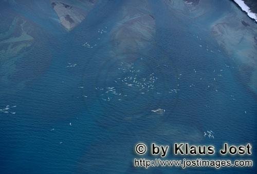 Beluga/Delphinapterus leucas        Belugas am Cunningham Inlet        Am Cunnigham Inlet auf Som