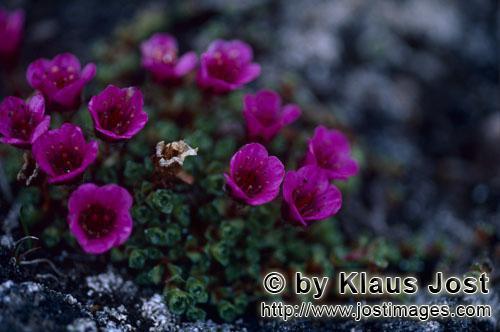 Gegenblättriger Steinbrech/purple saxifrage/Saxifraga oppositifolia        Buntens Steinbrechkissen