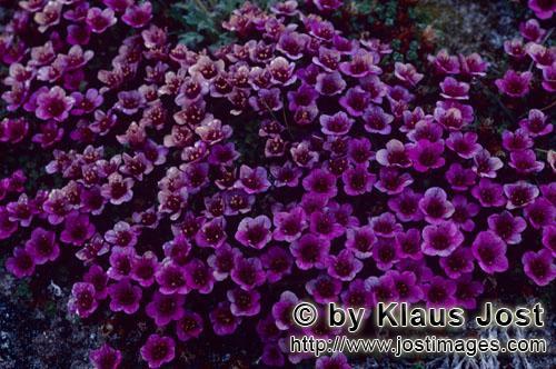 Gegenblättriger Steinbrech/purple saxifrage/Saxifraga oppositifolia        Roter Steinbrech oder Ge