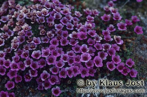 Gegenblättriger Steinbrech/purple saxifrage/Saxifraga oppositifolia        Gegenblättrige Steinbre