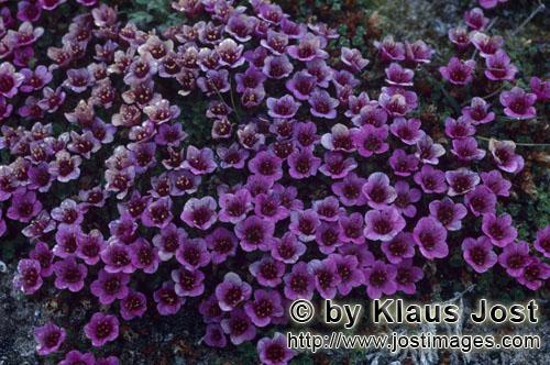 Gegenblttriger Steinbrech/purple saxifrage/Saxifraga oppositifolia        Gegenblättriger Steinbrec
