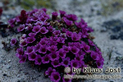 Gegenblaettriger Steinbrech/purple saxifrage/Saxifraga oppositifolia        Gegenblättriger Steinbr
