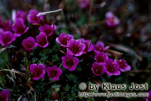 Gegenblättriger Steinbrech/purple saxifrage/Saxifraga oppositifolia        Gegenblättriger Steinbr