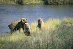 Gefahr für die Braunbärin und die zwei Jungbären