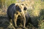 Zwei Braunbären in der Morgensonne