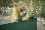Neugieriger junger Braunbär