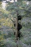 Drei kleine Braunbären auf dem Baum