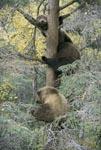 Drei kleine Braunbären schauen vom Baum