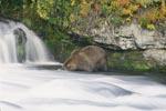 Braunbär auf Lachssuche am Wasserfall