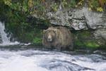 Braunbär sucht Lachse unterhalb des Brooks Wasserfalls