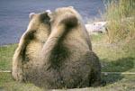 Rückenansicht zweier Braunbären