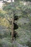 Drei kleine Braunbären auf einem Baum