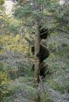 Drei kleine Braunbären in Sicherheit auf dem Baum