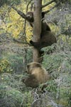 Der drei Bärenbaum