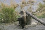 Kleiner Braunbär macht eine Pause am Schlagbaum