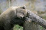 Kleiner Braunbär schläft am Schlagbaum