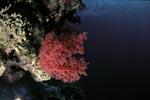 Exponierte rote Weichkoralle