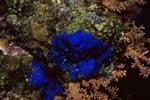 Blauer Schwamm im Roten Meer