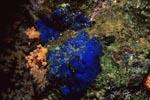 Blauer Schwamm (Hymedesmia sp.)