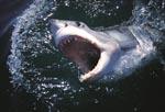 Weißer Hai mit weit aufgerissenem Maul