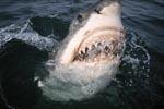 Weißer Hai beginnt sein Maul zu öffnen