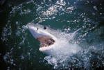 Augenkontakt mit dem Weißen Hai