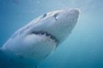 Weißer Hai starrt auf seine Beute