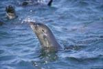 Pelzrobbe hebt den Kopf über Wasser