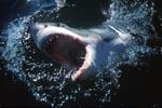 Weißer Hai durchbricht dynamisch die Wasseroberflaeche