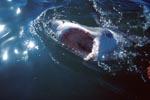 Horrorfilme machten den Weißen Hai bekannt und berüchtigt