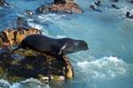 Pelzrobbe vor dem Sprung ins Wasser