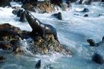 Pelzrobben im starken Seegang