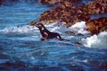 Pelzrobbe unterwegs ins Meer