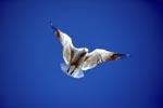 Hartlaubmöwe im Flug