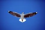 Hartlaubmöwe am Himmel von Dyer Island
