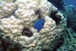 Blauer Schwamm auf Koralle