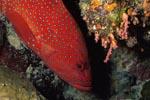 Juwelen-Zackenbarsch kommt aus einer Korallenspalte