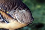 Arabischer Doktorfisch Portraet