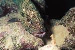 Braunfleck-Zackenbarsch (Epinephelus tauvina)