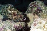 Braunfleck-Zackenbarsch lauert auf Beute