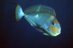 Schwarzdorn-Doktorfisch