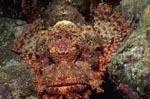 Ein Baertiger Drachenkopf wartet im Riff auf Beute
